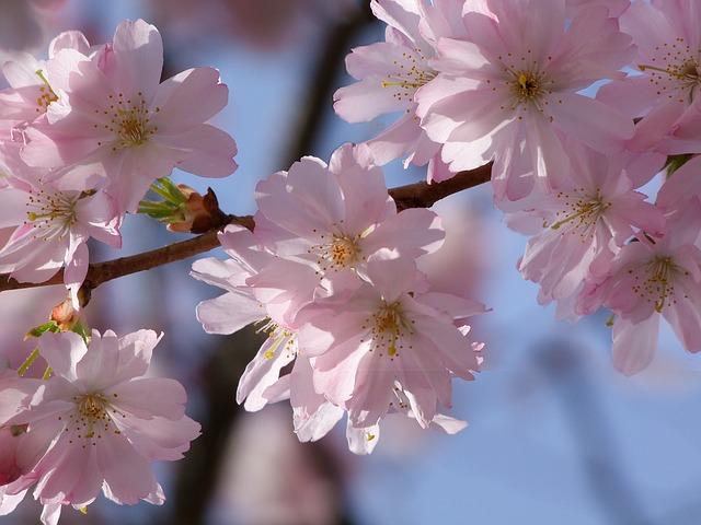 cherry-blossom-237872_640